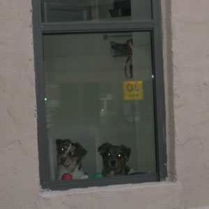 Dogs Looking Out Their Window